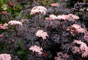 Elderberry Black Lace in flower.