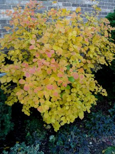 Fall foliage of fothergilla 'Mt. Airy.'
