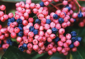 Ripening fruits of viburnum Brandywine.