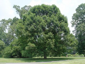The broad form of a mid-sized white oak.