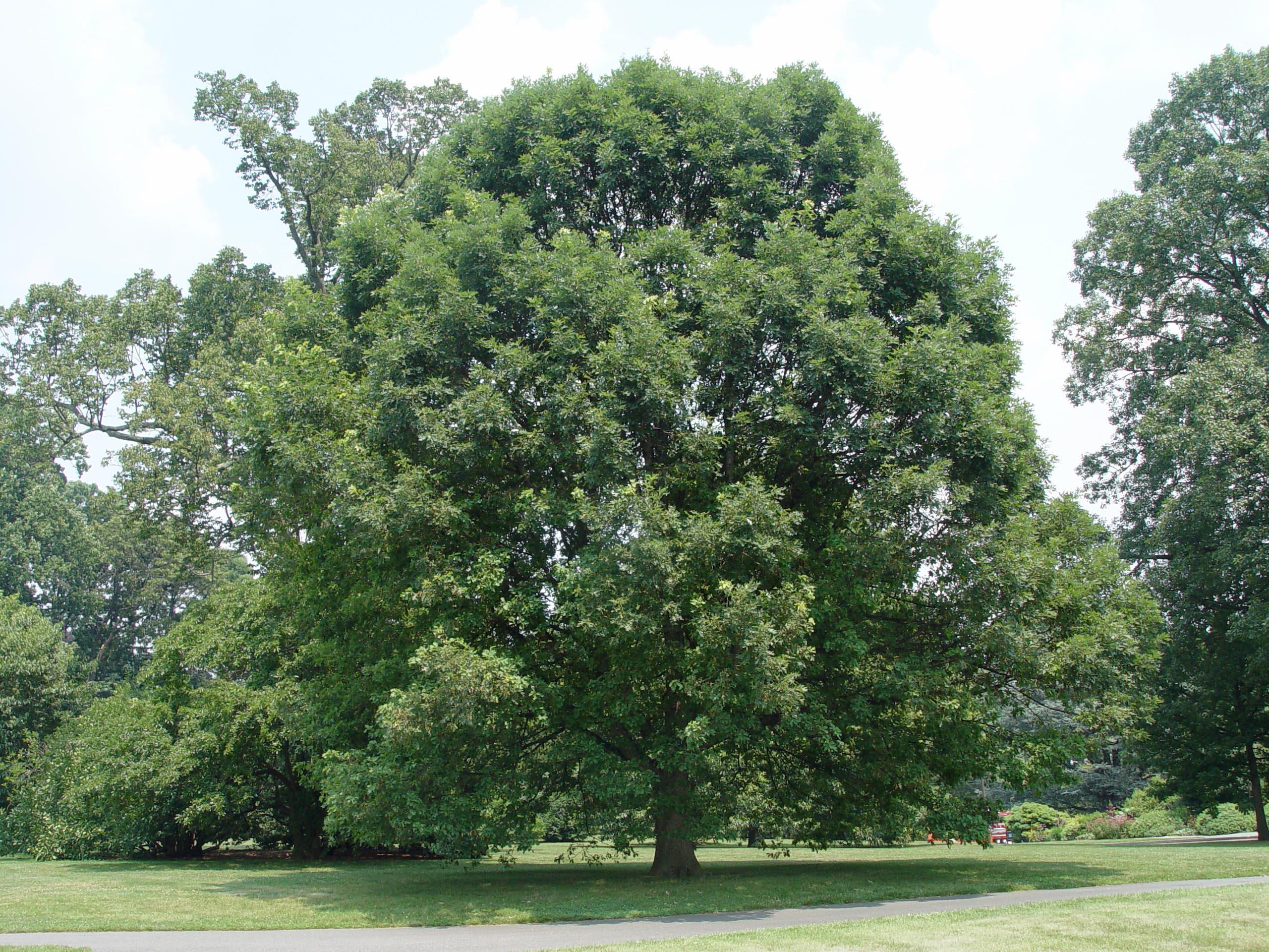 Top 10 Shade Trees | Garden Housecalls