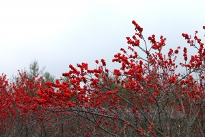 Winterberry holly fruits in December.