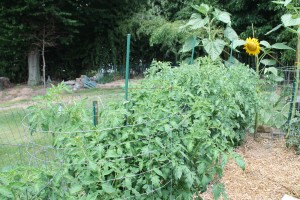 Heng Lim's tomatoes are looking pretty healthy despite the rain-fueled disease pressure.