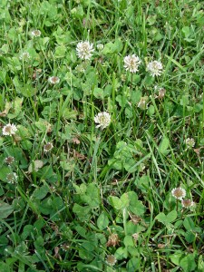 Want to really help the pollinators? Start with this plant: clover.