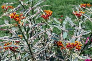 Milkweed 'Monarch's Promise'