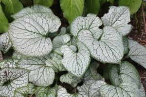 Closeup of 'Silver Heart's' growing-season foliage.