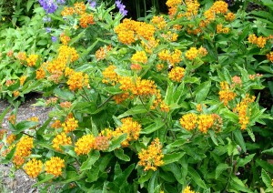 butterfly.weed2