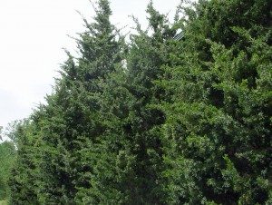 Eastern red cedars used as a screen planting.