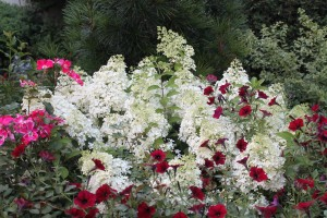 Hydrangea Bobo in the white-flower stage.