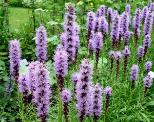 Liatris 'Kobold' (blazing star) in bloom.
