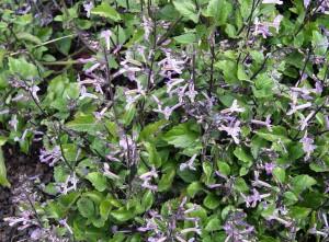 plectranthus.mona.lavender
