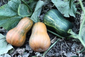 Butternut squash 'Honeynut'