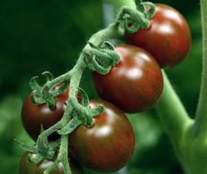Tomato 'Chocolate Sprinkles' Credit: PanAmerican Seed