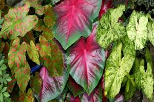 Caladium Painted Frogs Credit: Plants Nouveau