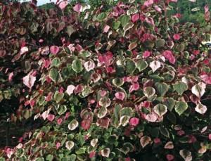 Redbud Carolina Sweetheart Credit: Star Roses and Plants