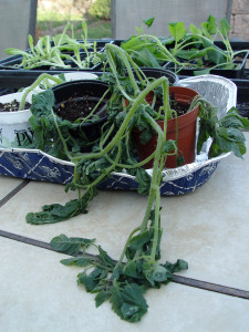 Here's what tomato seedlings look like after a frosty night.