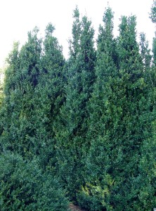 A screen planting of 'Dee Runk' boxwoods.