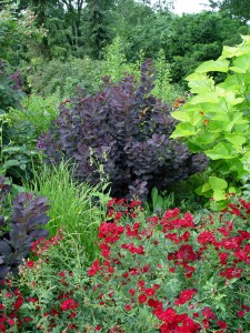 Dark foliage of purple smokebush 'Royal Purple.'