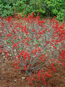 Winterberry 'Red Sprite' in winter with its red fruits.