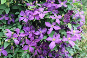 Clematis 'Polish Spirit' in bloom.