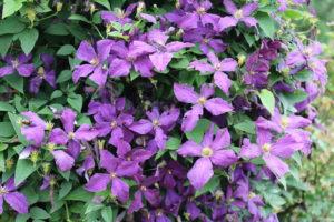 Clematis 'Polish Spirit' in bloom.