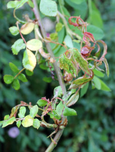 This rose is suffering from rose rosette disease.