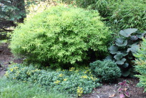 Spirea Mellow Yellow is an excellent shrub that deer don't like.