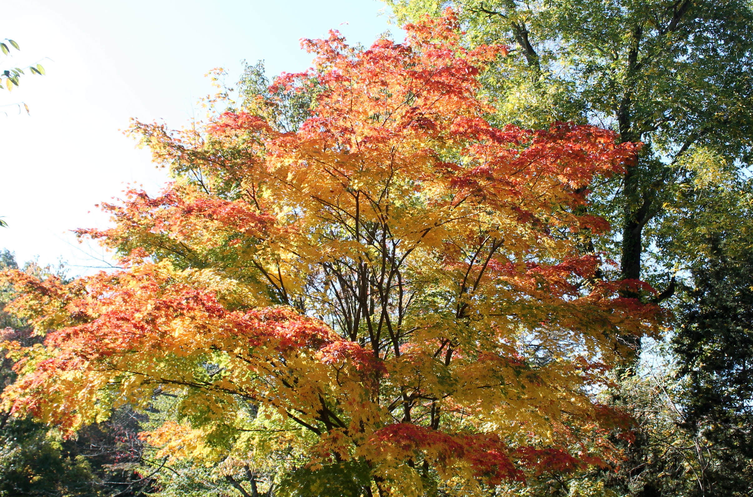 What S Killing The Japanese Maples George Weigel
