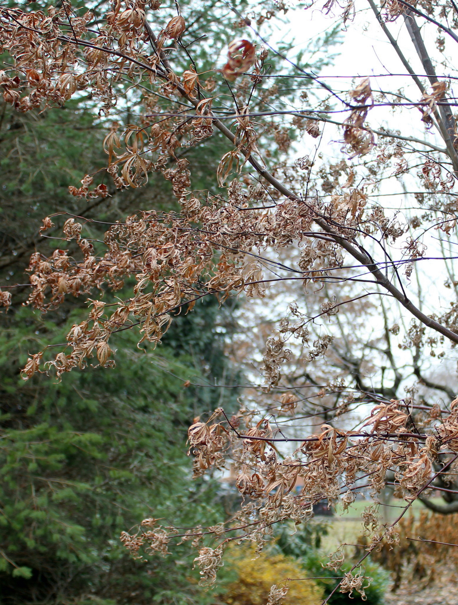 Garden Housecalls: Brown Spots On Japanese Maple Leaves