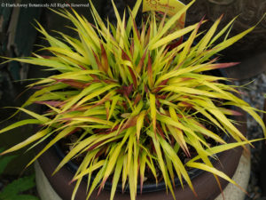 Japanese forest grass SunFlare Credit: HarkAway Botanicals