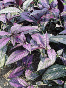 Persian shield has silvery purple leaves and is a good shady pot option.