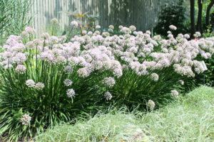 allium-tanguticum-summer-beauty2