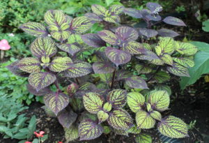 coleus-fishnet-stockings7-15