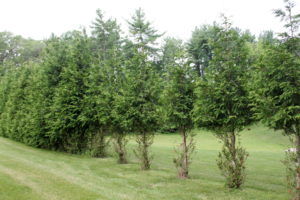 "These tasty arborvitae have been ""pruned"" by deer."