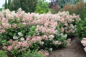 hydrangea-quickfire-hedge