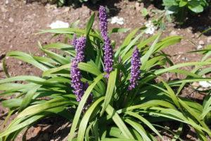 liriope-purple-explosion