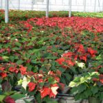 How to Get Poinsettias to Color Back Up