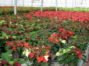 Poinsettias in the process of coloring inside Quality Greenhouses near Dillsburg.