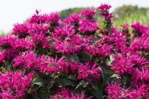 Monarda BeeTrue Credit: Plants Nouveau