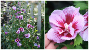 Rose of sharon Purple Pillar Credit: Proven Winners