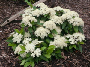 Viburnum Lil Ditty Credit: Proven Winners