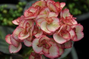 Hydrangea 'Miss Saori' Credit: Silver Falls Nursery
