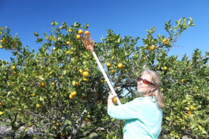Sue picking oranges at Showcase of Citrus.