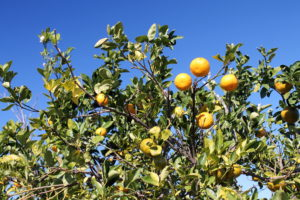 Here's a sight you don't see in Mechanicsburg in February -- oranges ripening under a blue sky.