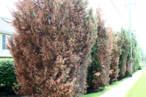 This is what Leyland cypresses look like after a Zone 5 winter hits a Zone 6 landscape.