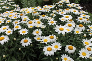 Shasta daisy 'Snowcap' gets full-size bloom on foot-tall plants.