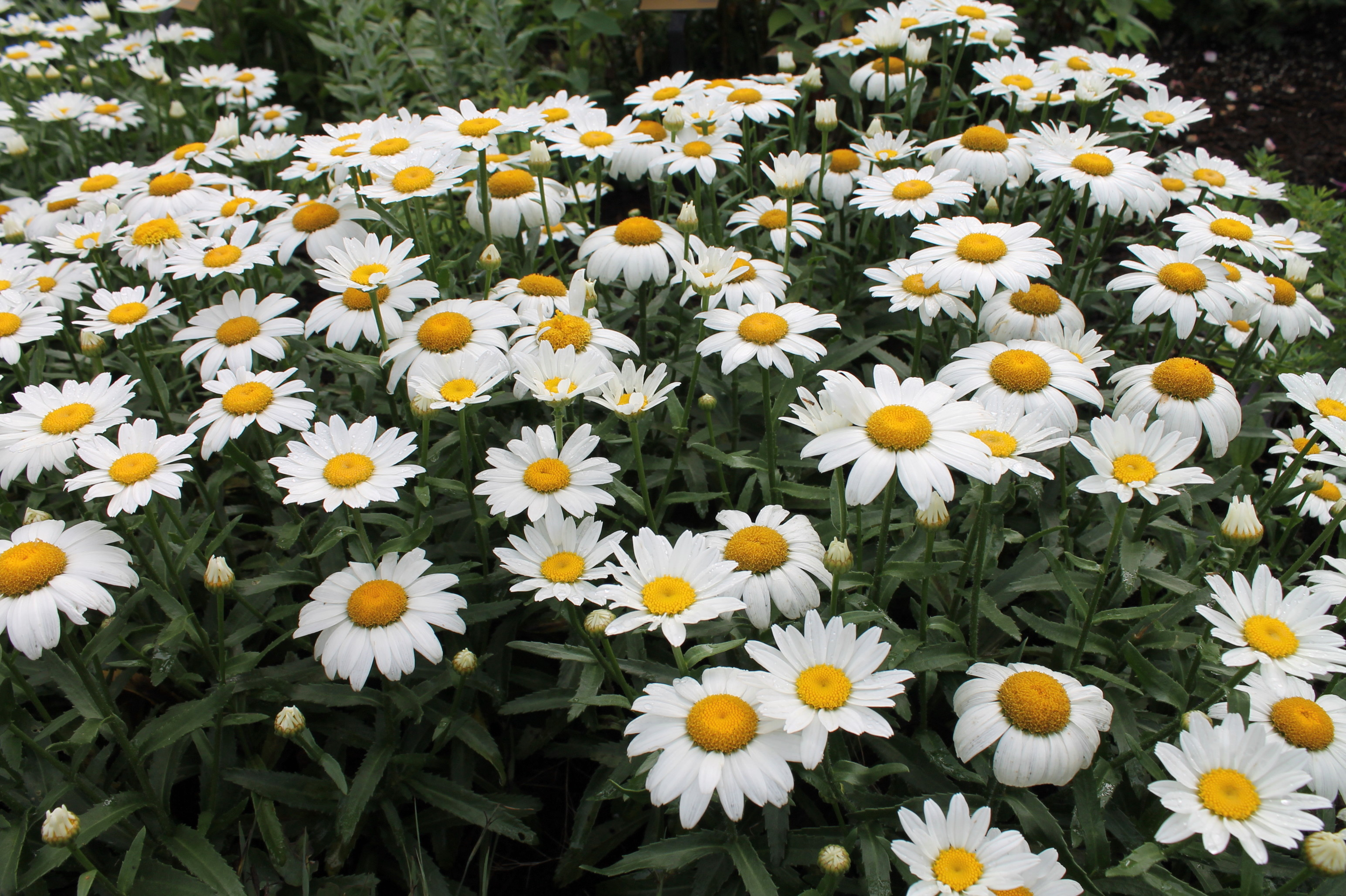 Stake no more garden housecalls shasta daisy snowcap gets full size bloom on foot tall plants izmirmasajfo