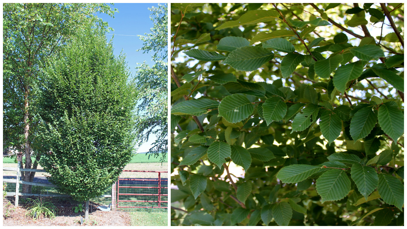 12 Mid-Size Trees to Replace Those Dying Ashes | Garden Housecalls