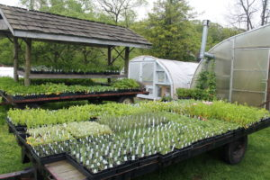 Landis Valley plants ready for the annual May plant sale.