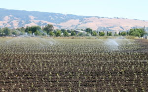 A newly planted field of artichokes is being irrigated, like almost all Salinas Valley crops.